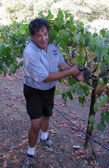 owner of the vineyard clipping off a bunch of grapes