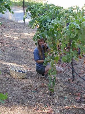 woman under a row of grape vines with shears and a basket