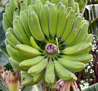 a bunch of green bananas on the tree, viewed end on to show the symetry.