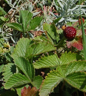 strawberry (Fragaria)