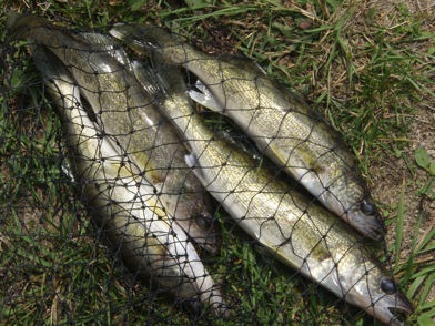 Four walleye in a net